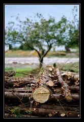 Muerte y vida de un rbol (DavidGorgojo) Tags: wood tree film 35mm arbol death madera fuji superia live asturias muerte vida pelicula luarca 100club occidente minoltadynax5 50club abigfave
