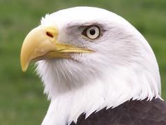 Eagle Eye (TwelveX) Tags: seattle bird eye nature zoo washington eagle baldeagle captive woodlandparkzoo anawesomeshot