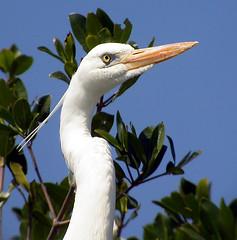 Great White Heron (Langooney) Tags: heron birds wow florida everglades digiscoping greatblueheron ardeaherodias greatwhiteheron ardeaherodiasoccidentalis animalkingdomelite