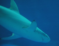 White black tip reef shark (Saveena (AKA LHDugger)) Tags: california ca travel vacation favorite nature water ilovenature shark monterey all no montereybay lisa any h rights form written without usage animalplanet reserved saltwater allowed aqarium consent blacktipreefshark carcharias carcharhinusmelanopterus carcharodon dugger montereybayaqarium  whiteblacktipreefshark saveena