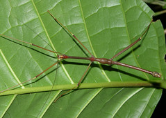 Recently deescribed stickinsect (Oncotophasma limonense Zompro, 2007) from Panama (Arthur Anker) Tags: macro nature insect rainforest stick panama phasmid stickinsect phasmatodea