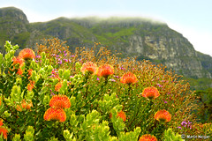 Pincushion Protea (Leucospermum) flowers (Martin_Heigan) Tags: camera orange mountain flower nature fog clouds digital garden southafrica botanical nikon dof close martin d70 capetown 1870mmf3545g kirstenbosch photograph wildflowers pincushion dslr protea leucospermum nikonstunninggallery heigan p1f1 2december2006 mhsetproteas mhsetlandscapes mhsetuntouched mhsetflowers wildatlas:hiking=jh67