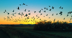 Bird Rays (Fort Photo) Tags: travel sunset newmexico bird nature birds animal landscape geese nikon wildlife birding 2006 aves bosquedelapachenwr goose cranes bosque ave lookatme birdsinflight nm migration waterfowl ornithology bosquedelapache avian refuge sandhillcrane bif snowgeese nwr anatidae snowgoose anseriformes chencaerulescens wildbird 50faves featheryfriday instantfave birdphoto anserinae specnature birdlove abigfave bestnaturetnc06 anawesomeshot instantfaved