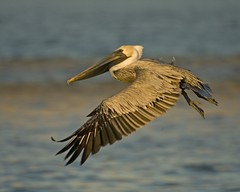 pelican in flight (kwilliams) Tags: bird alabama pelican brownpelican gulfcoast mobileal occidentalis pelecanus pelecanusoccidentalis