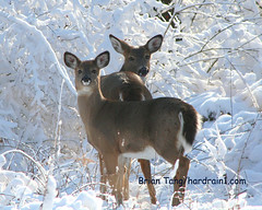 Whitetail in Snow (Hard-Rain) Tags: snowflake christmas family trees winter two usa white holiday snow chicago game tree nature animals forest togetherness phot