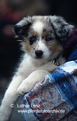 Australian Shepherd (Lothar Lenz) Tags: dog chien pet pets cute animals cane puppy mammal tiere puppies funny sweet perro hund neat domesticanimals mammals juvenile haustier hunde haustiere suess carnivores niedlich jungen juvenil welpe canis welpen whelp droll younganimal putzig possierlich domesticanimal jungtier domesticdogs younganimals saeugetier saeugetiere beastsofprey hundewelpen haushund drollig tierkinder jungtiere whelps lotharlenz tierjunges tierjunge haushunde hundewelpe