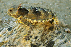 Horned Toad (tomstephensonroland) Tags: bestnaturetnc06