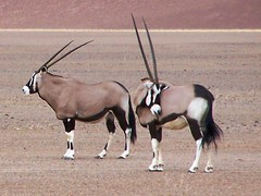 Gemsbok at Sossusvlei (geoftheref) Tags: africa travel nature animal de la interestingness interesting flickr desert wildlife il safari afrika namibia oryx sossusvlei  gemsbok frica namibie lafrique namibi  specanimal abigfave geoftheref nambia dellafrica  afrikasafari   earthtouchcom