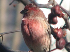 purple finch wannabe