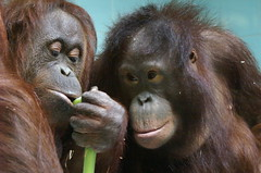 Bornean Orang Utan (tim ellis) Tags: twycrosszoo uk animal ape primate orang orangutan photofriday brothers specanimal bigpicture2008 naturesfinest msh0518 msh05183
