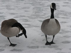 Itchy goose
