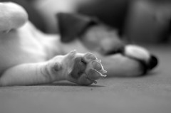Paw (kness) Tags: dog white black cute puppy jack paw fuji sleep russel s2pro finepixs2pro claws