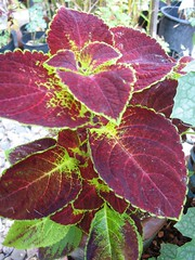 Coleus 'Kona Red' (aka Dip't in Wine)