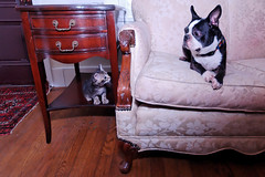 RAW Dogs 7  (88).png (blogjam_dot_org) Tags: dog bostonterrier houston montrose hawthorne peabo misterpeabody 77098