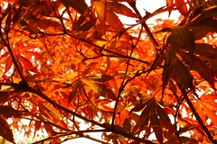 Japanese Maple (Mike Bingley) Tags: autumn red orange canada abstract color colour tree fall nature leaves japanese maple pattern bc britishcolumbia interestingness1 2006 nanaimo columbia vancouverisland japanesemaple british cotcmostinteresting personalfaves explore1october82006 flickrhivemindgroup