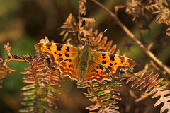 """Comma Butterfly (Polygonia c-album) • <a style=""""font-size:0.8em;"""" href=""""http://www.flickr.com/photos/57024565@N00/264746752/"""" target=""""_blank"""">View on Flickr</a>"""