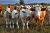 Models (Dietrich Bojko Photographie) Tags: animals tag3 taggedout d50 germany deutschland topf50 bravo funny tag2 tag1 cows webinteger kitlens nikond50 brandenburg circularpolarizer nikkor1855mm criewen outstandingshots cokinp121m cokinp164 gnd4 animalkingdomelite abigfave nationalparkunteresodertal outstandingshotshighlight