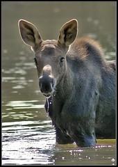 Moose at Summit Lake Waterton National Park (watertonmoose-DSC_0113.jpg)