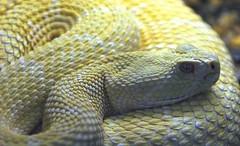 Albino Rattlesnake! (Connie Lemperle) Tags: noahsark cincinnatizoo crotalusatrox supershot specanimal animalkingdomelite lemperleconnie allrightsreserved