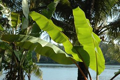 "vazha (Rafeek Manchayil ""Near Perfect"") Tags: green leaves kerala banana kera malayalam keralam malayali malabar calicut keram godsowncountry keralite rafeek manchayil vadakara rafeekmanchayil kadathanad puduppanam"