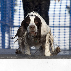 ..Like a coiled spring (Steve Collins Photography (momofoto)) Tags: park farm n whitbread dash hop paws splash the in dockdogs jettydogs emjet parkdash splashwhitbreadhopfarmjettydogs