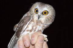 Saw-whet Owl (b_nicodemus) Tags: bird october indiana 2006 owl tagging sawwhetowl ias monroecounty aegoliusacadicus sawwhet strigidae interestingness299 i500 specanimal yellowwoodstateforest elizabethcarey aacadicus ininteresting