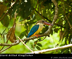 Stork-billed Kingfisher (The World Through My Eye) Tags: nikond70 kumarakom storkbilledkingfisher pelargopsiscapensis vembanadlake specanimal animalkingdomelite nikon300mmf4 kerala06