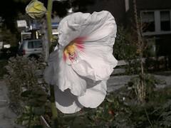 flower10 (Haakon von Martinsky) Tags: flowers green nature garden flora blumen tuin garten kwiaty bloem malwa roliny ogrd stockrosen rosetremiere patki