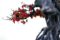 mini-autumn (cindyli) Tags: autumn tree fall leaves treetrunk bonsai trunk