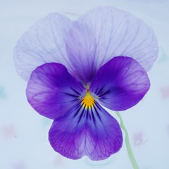 Miraculous mauve (cattycamehome) Tags: blue flower colour macro water yellow tag3 taggedout petals stem bravo tag2 all tag1 purple searchthebest bright quote miracle quality  pansy floating lilac rights mauve veins pansies reserved miraculous excellence catherineingram october2006 magicdonkey masterphotos cattycamehome allrightsreserved
