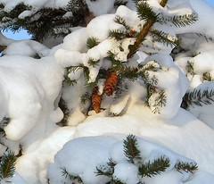Heavy snowload on a fir (Phoenicz) Tags: shadow snow nature finland cone fir oulu
