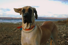 what's that? (snapstill studio) Tags: dog michigan greatdane tex petoskey martinmcreynolds