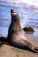 (Leviathor) Tags: ocean california travel fight play bokeh seal miroungaangustirostris roadtrip2006 animalkingdomelite northernelephantseal