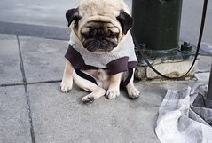 tough day for mr. newman :-< (Christopher.Michel) Tags: leica dog interesting pug perro forlorn cutepug