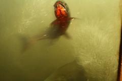 salmon heading upstream (matthew_i_aldous) Tags: vancouver salmon capilano hatchery