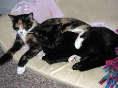 snuggling (crazyqbygrl) Tags: blackcat kitten calico camfjan08
