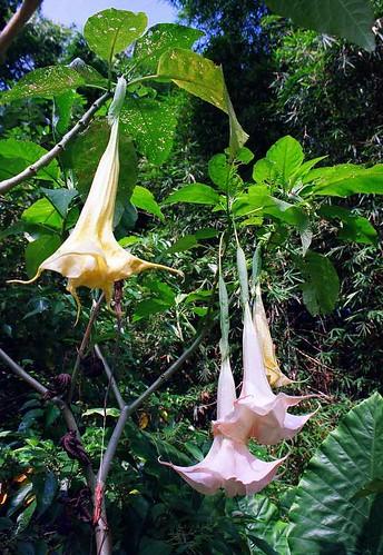 Trumpet Flowers Efate Vanuatu