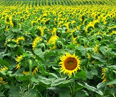 """One in a Million"" (Jan_ice) Tags: rebel different farm oneofakind country crop sunflower be individual oneinamillion fieldofsunflowers impressedbeauty"