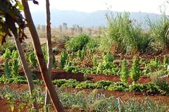 Ngorongoro Farmhouse's organic gardens (Fiver13) Tags: africa tanzania flora farming nikond50 safari ngorongoro serengeti tarangire organicgardening africanfarm farmsoftheworld