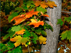 Autumn Colours (PuffinArt) Tags: autumn orange brown tree green fall folhas leaves season lumix grey woods gray panasonic autumncolors bosque trunk puffinart arvore tronco outono vandamalvig coresdeoutono