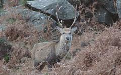 Wicklow Sika Deer (brian807) Tags: deer glendalough wicklow sika sikadeer specnature irishdeer supremeanimalphoto