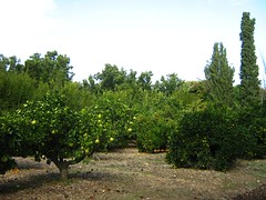 "mazra'ih orchard • <a style=""font-size:0.8em;"" href=""http://www.flickr.com/photos/70272381@N00/299106539/"" target=""_blank"">View on Flickr</a>"