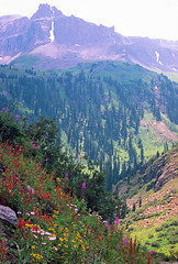 Yankee Boy Basin: Above Ouray, Colorado (CO) (Floyd Muad'Dib) Tags: flowers trees boy plants usa mountain plant mountains flower tree america geotagged us colorado unitedstates united north peak basin southern co vegetation northamerica wildflowers states peaks sanjuans wildflower yankee spruce integra paintbrush americanwest sanjuanmountains fireweed ouray castilleja yankeeboybasin westernusa ouraycolorado southerncolorado ourayco engelmann yankeeboy engelmannspruce castillejaintegra