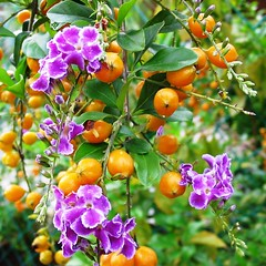 Duranta erecta (syn: D. repens) 'Sweet Memories', captured in November 9, 2006