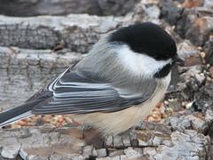 Fancy feathers (annkelliott) Tags: canada nature birds wildlife explore alberta blackcappedchickadee i500 interestingness420 explore2006nov23