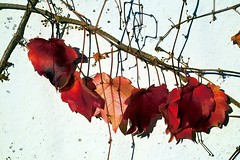 Wine leaves (PurpleGecko) Tags: autumn fall leaves germany purple wine herbst sigma gecko bltter wein foveon weinblatt sd9 x3f sigmasd9 purplegecko sigma5028ex