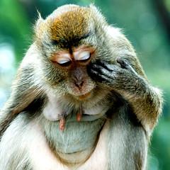 Contemplating the primate condition (Wen Nag (aliasgrace)) Tags: 15fav nature animal monkey asia southeastasia thoughtful malaysia kualalumpur contemplative primate contemplation