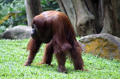 Orangutan at Singapore Zoo (dbillian) Tags: nature animal animals zoo singapore wildlife great malaysia borneo orangutan ape damon primate apes zoos primates orangutans bornean damonbillian billian