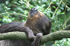 Lazy sloth at the Singapore Zoo (dbillian) Tags: sleeping nature animal animals zoo singapore wildlife sloth damon zoos sloths damonbillian billian