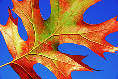 Red Leaf Blue Sky (Jeff Clow) Tags: color nature wow ilovenature leaf bravo searchthebest quality explore flickrwow jeffclow magicdonkey specnature flickryahoo abigfave nikond80 colorphotoaward